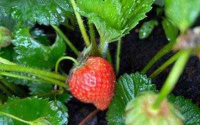 Beste aardbeirassen voor in de tuin