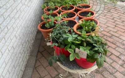 Aardbeien kweken in pot: Tips en tricks