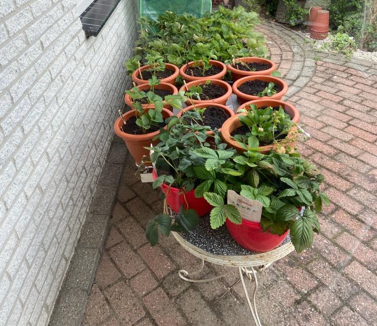 Aardbeien kweken in pot